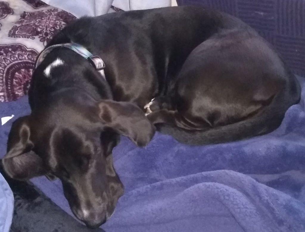 black basset hound curled up on a blue window seat, asleep