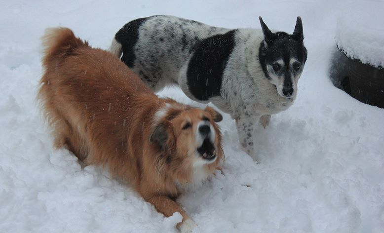 two dogs, one brown and the other black and white, in the snow, and the brown dog is barking