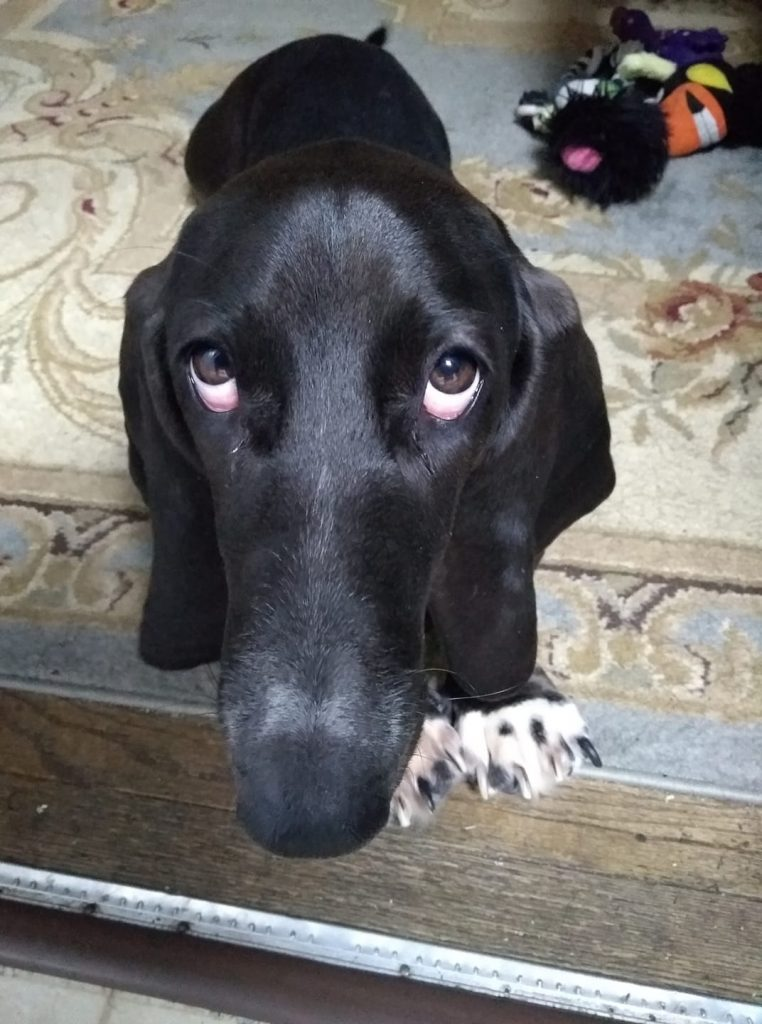 """black basset hound looking up at the camera with an """"Oh, really?"""" look on her face"""