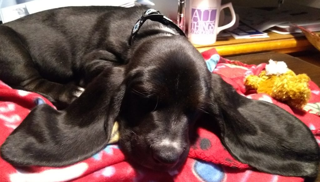 black basset hound puppy, fast asleep on red blanket, ears spread outward