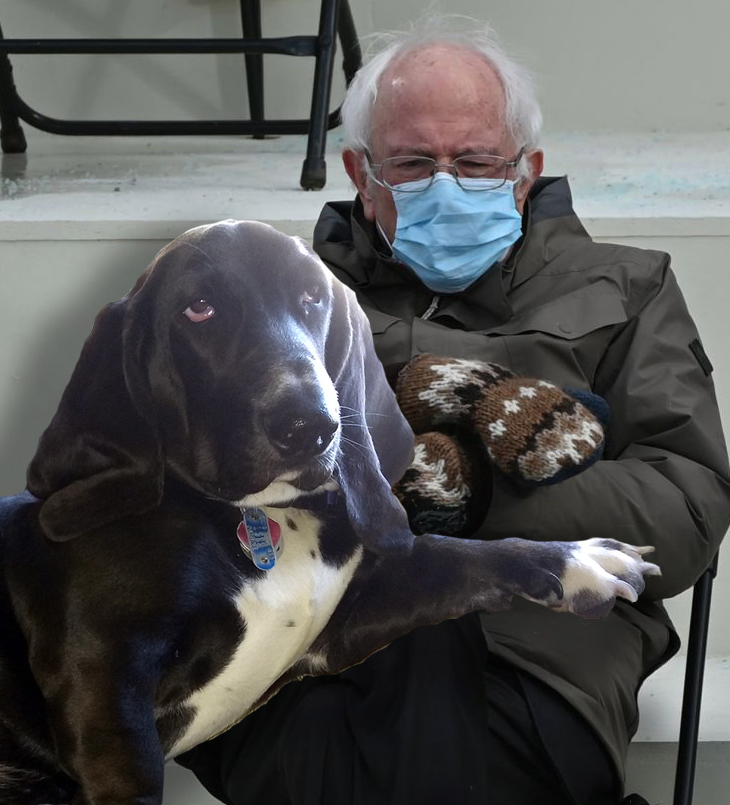 black basset hound with white chest and white paws, one paw on the lap of Bernie Sanders from Inauguration 2021, cropped