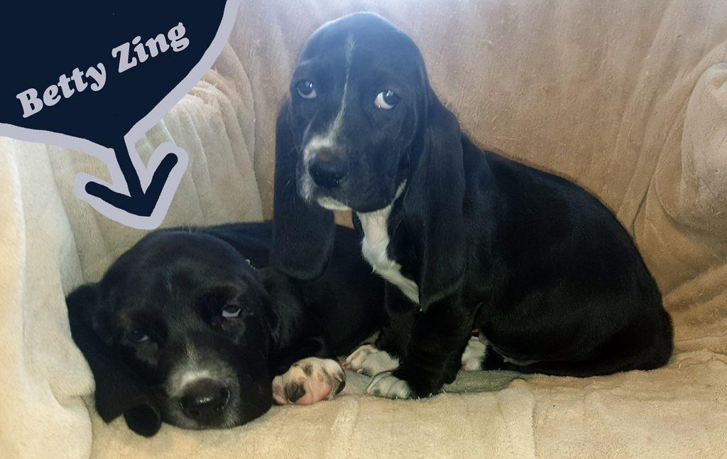 two black basset hound puppies, 8 weeks old, looking very sad