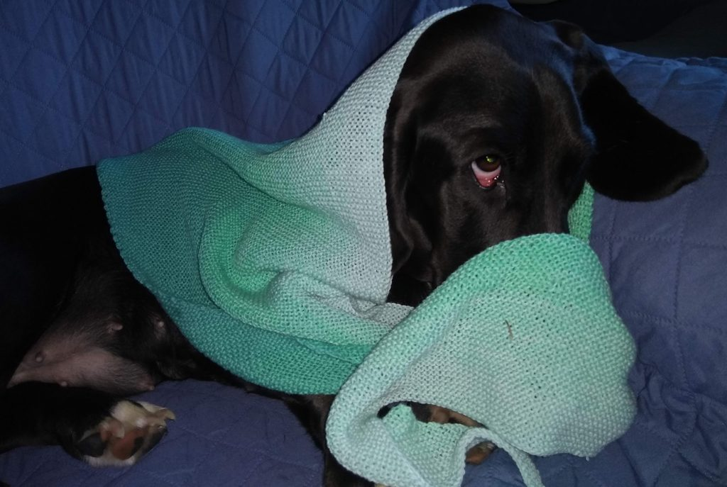 black basset hound wearing a pale green knitted babooshka, partially draped over her nose