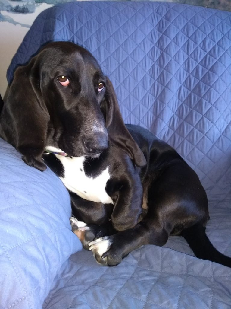 black basset hound leaning against arm of blue chair, upright