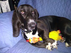 black basset hound, front legs holding a rubber chicken