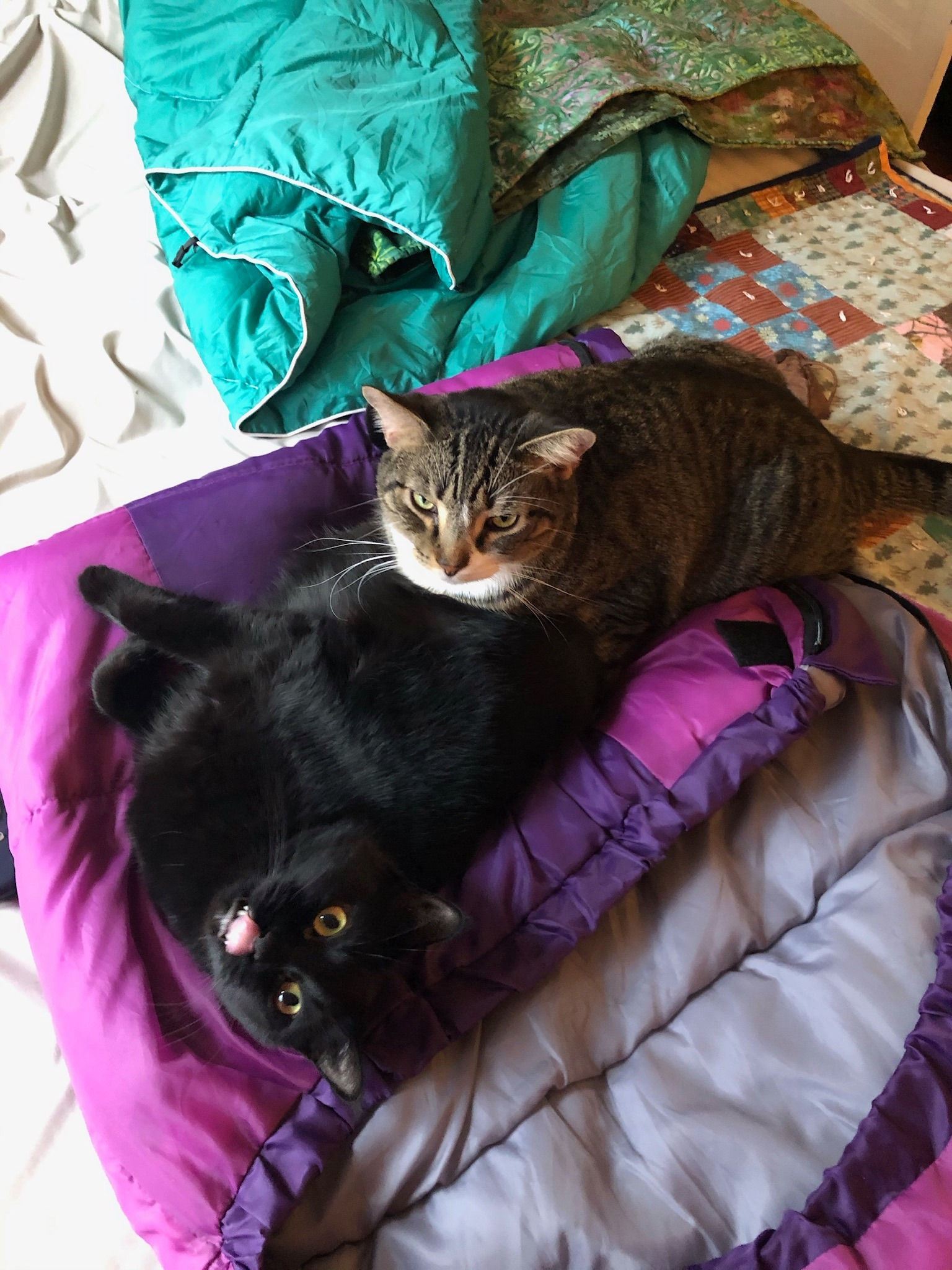 brown cat on top of black cat