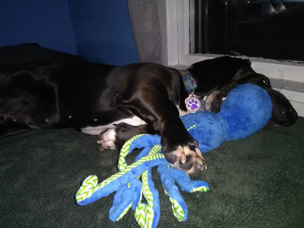 black basset hound playing with blue octopus toy on bed by window