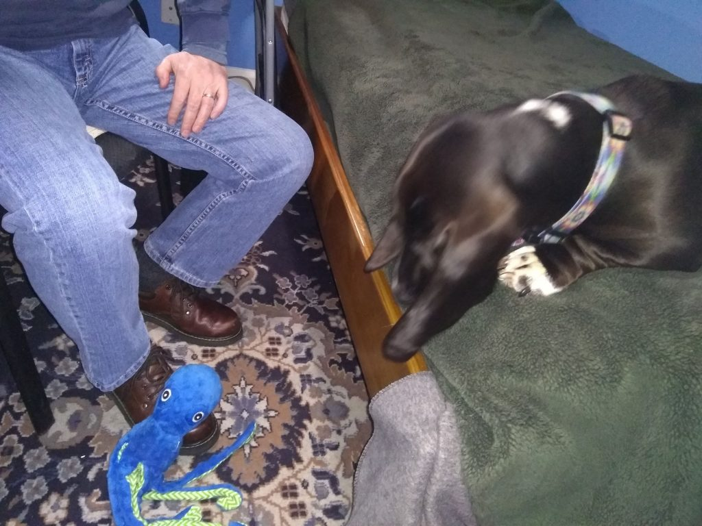 black basset hound looking from bed down to floor where blue octopus toy is on man's shoe