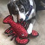 black and white dog with red lobster toy
